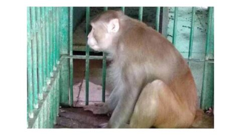 Drunk monkey bags life imprisonment for killing one and injuring 250 people .