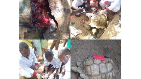 Huge relief as 75yrs old tortoise undergoes a successful surgery in Sokoto .